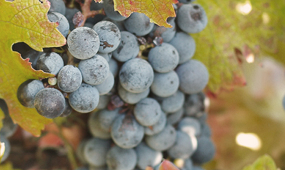 Somerbosch Weingut Trauben rot